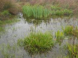 zhv-carex_cuprina-23-04-2012-260.jpg